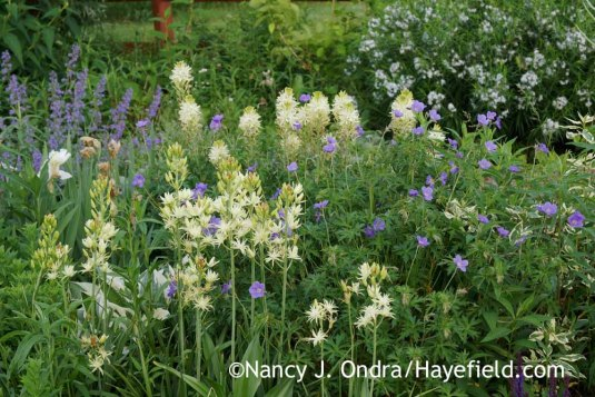 'Semiplena' (front) and 'Sacajawea' (back) great camas (Camassia leichtlinii) with 'Walker's Low' catmint (Nepeta), 'Brookside' hardy geranium (Geranium), and Arkansas bluestar (Amsonia hubrichtii); Nancy J. Ondra at Hayefield