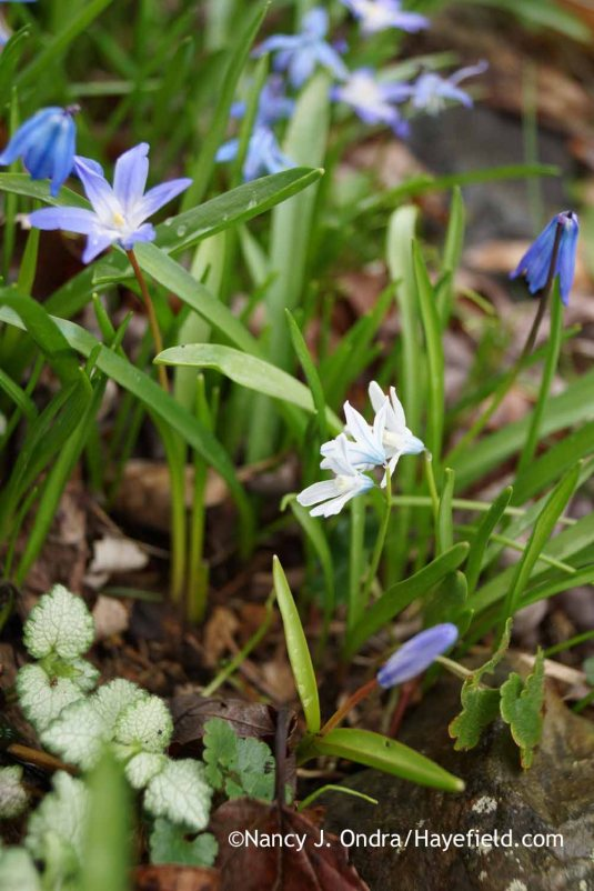 Spring blues, from left: glory-of-the-snow (Chionodoxa luciliae), striped squill (Puschkinia scilloides), and Siberian squill (Scilla siberica); Nancy J. Ondra at Hayefield