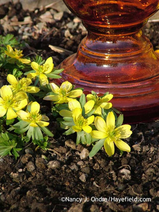 Winter aconite (Eranthis hyemalis); Nancy J. Ondra at Hayefield