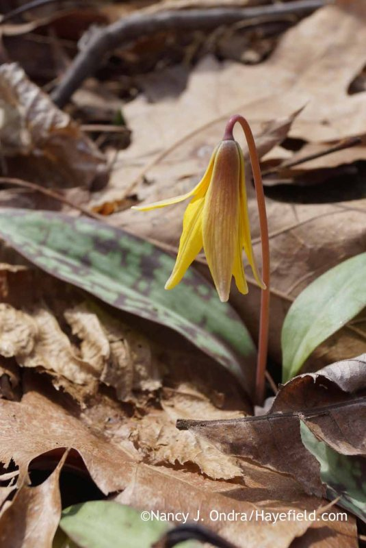 Yellow trout lily (Erythronium americanum); Nancy J. Ondra at Hayefield