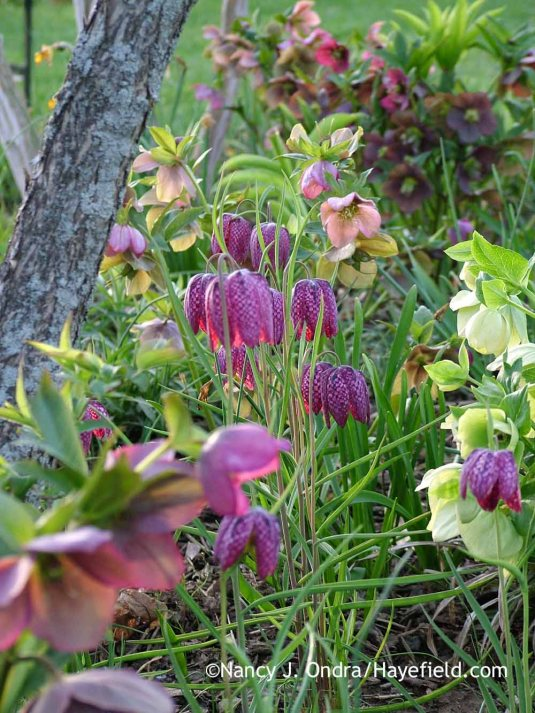 Checkered lily (Fritillaria meleagris) with hybrid Lenten roses (Helleborus x hybridus); Nancy J. Ondra at Hayefield