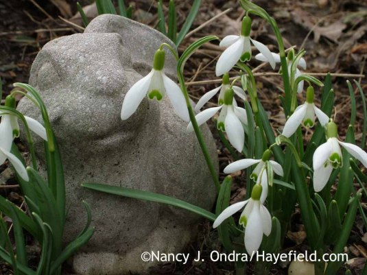 Common snowdrop (Galanthus nivalis); Nancy J. Ondra at Hayefield