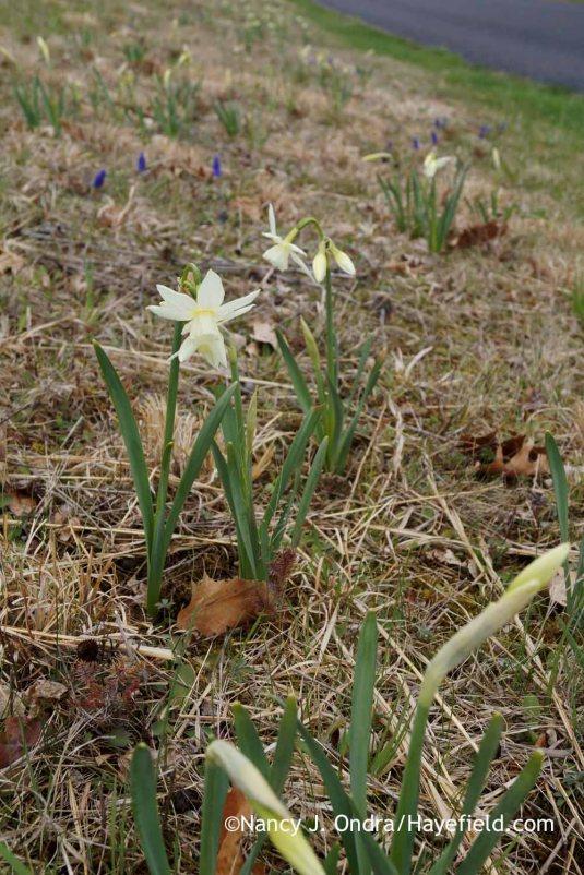 Naturalized 'Thalia' daffodil (Narcissus) and grape hyacinths (Muscari armeniacum); Nancy J. Ondra at Hayefield