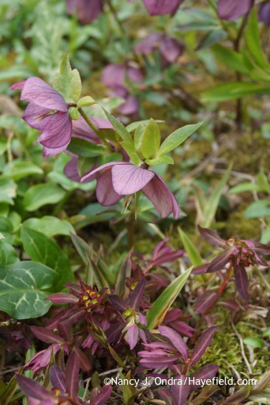 I got bored with 'Chameleon' euphorbia (Euphorbia dulcis) a few years ago and let most of it die out, but I'm glad I left some seedlings, because their new growth makes a really nice echo for the colors and markings of many Lenten roses (Helleborus x hybridus); Nancy J. Ondra at Hayefield
