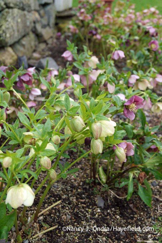 Hybrid Lenten roses (Helleborus x hybridus); Nancy J. Ondra at Hayefield