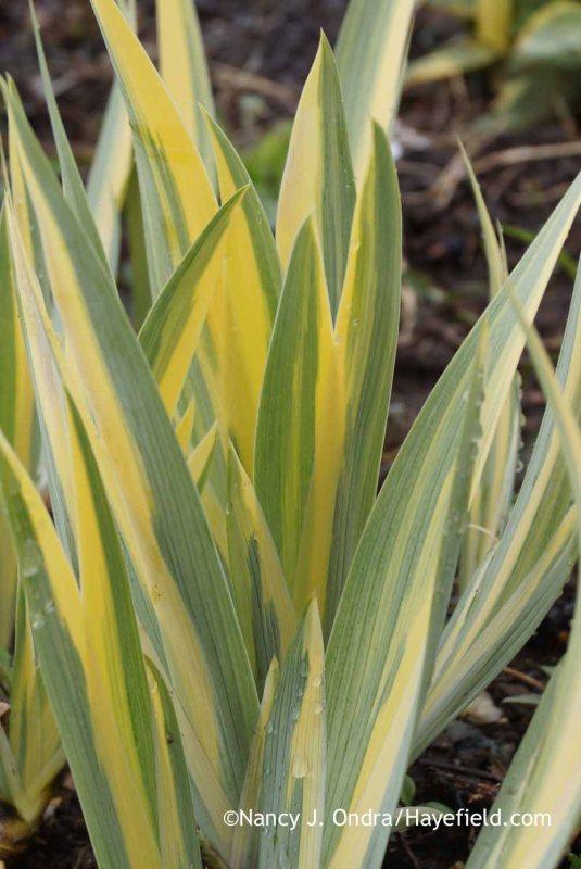 Variegated sweet iris (Iris pallida 'Variegata'); Nancy J. Ondra at Hayefield