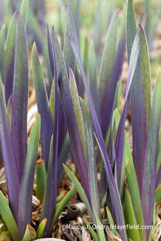 'Gerald Darby' iris (Iris x robusta); Nancy J. Ondra at Hayefield