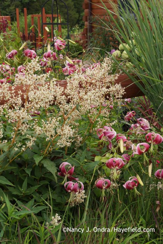 'Black Beauty' Orienpet lily (Lilium) with giant fleeceflower (Persicaria polymorpha); Nancy J. Ondra at Hayefield