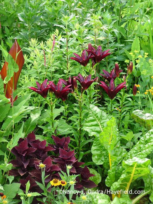 Later in the growing season, true lilies (Lilium) supply a wide range of rich shades and pastel tints to work with. I was very pleased with this practically perfect color match of 'Landini' Asiatic lily with 'Marooned' coleus (Solenostemon [Plectranthus] scutellarioides); Nancy J. Ondra at Hayefield