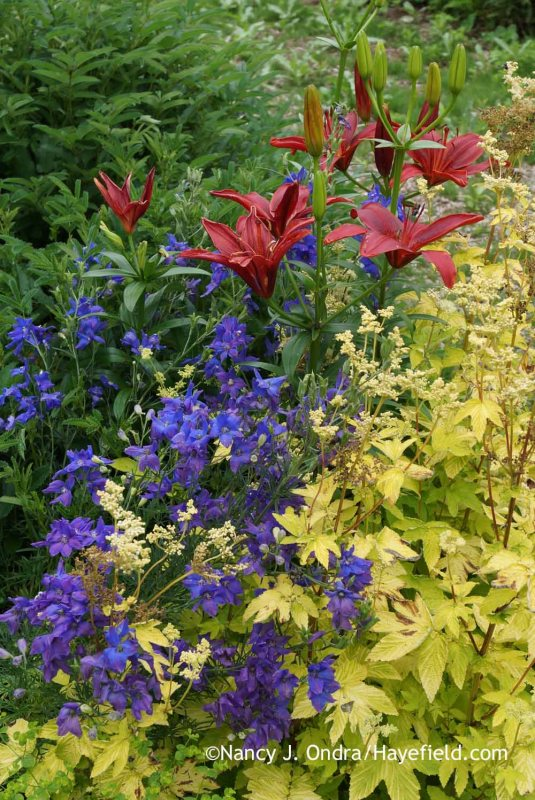 'Monte Negro' Asiatic lily (Lilium) with 'Diamonds Blue' delphinium (Delphinium grandiflorum) and golden meadowsweet (Filipendula ulmaria 'Aurea'); Nancy J. Ondra at Hayefield