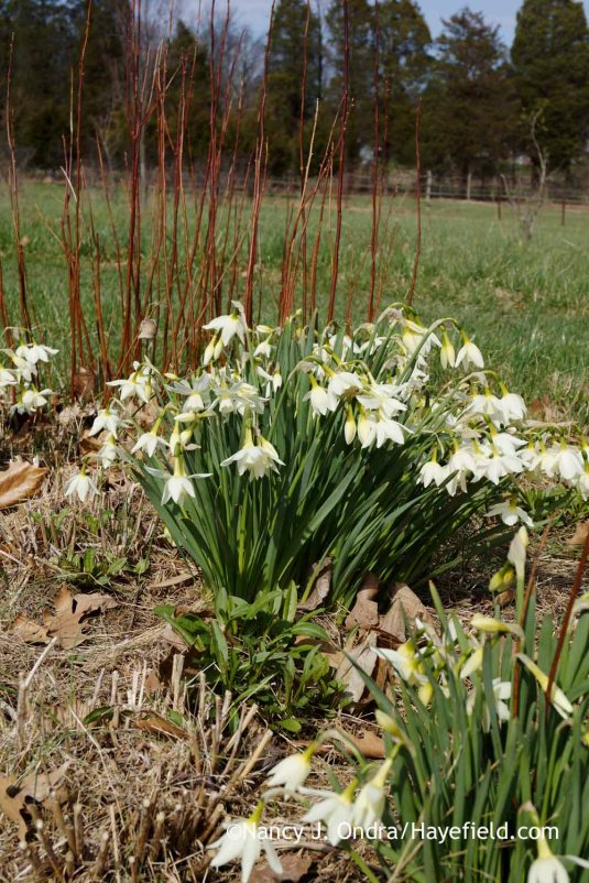 I mentioned earlier that 'Thalia' daffodil (Narcissus) has been an excellent performer here. These clumps are five years old and just keep getting better. Here they're with the red stems of 'Henry's Garnet' Virginia sweetspire (Itea virginica). You can just see the cut-back stems of the Arkansas bluestar (Amsonia hubrichtii) clumps that will fill this space in summer and fall; Nancy J. Ondra at Hayefield