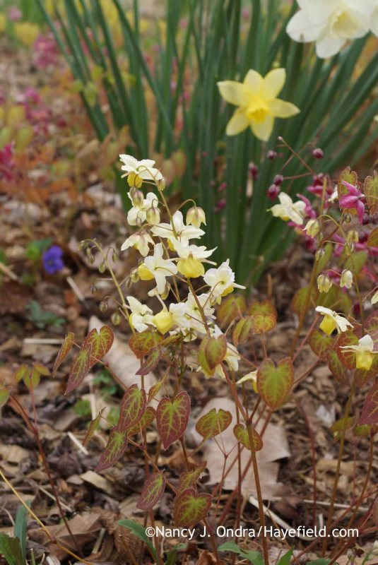 Midseason daffodils (Narcissus) with epimediums (Epimedium x versicolor 'Sulphureum' and E. x rubrum); Nancy J. Ondra at Hayefield