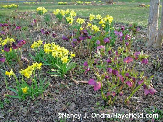 'Tete-a-Tete' daffodil (Narcissus) with hybrid Lenten roses (Helleborus x hybridus); Nancy J. Ondra at Hayefield