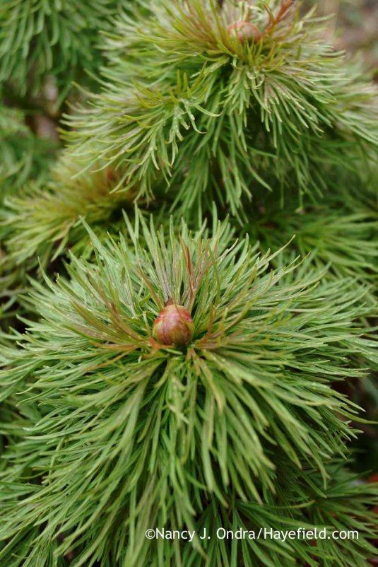 Fernleaf peony (Paeonia tenuifolia); Nancy J. Ondra at Hayefield