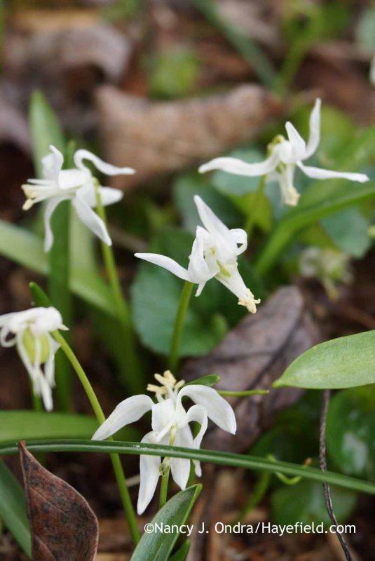White Siberian squill (Scilla siberica 'Alba'); Nancy J. Ondra at Hayefield
