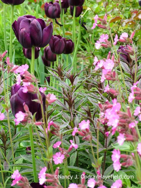 The moody blooms of 'Queen of Night' tulip (Tulipa) are an obvious echo for all sorts of purple-leaved partners. Here it's matched with the young foliage of 'Erica' Culver's root (Veronicastrum virginicum), along with some cheery pink red campion (Silene dioica) to keep things from getting too gloomy in such a happy season; Nancy J. Ondra at Hayefield