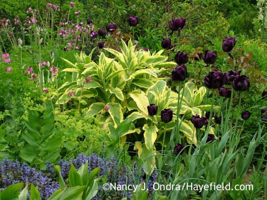 'Queen of Night' tulip against 'Axminster Gold' comfrey (Symphytum x uplandicum) with red campion (Silene dioica), lady's mantle (Alchemilla mollis), and Chocolate Chip ajuga (Ajuga reptans 'Valfredda'); Nancy J. Ondra at Hayefield