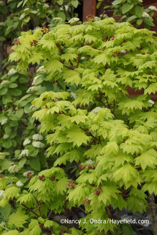Golden full moon maple (Acer shirasawanum 'Aureum') [Nancy J. Ondra at Hayefield]
