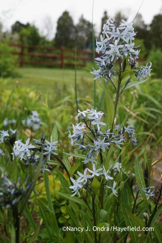 Stiff bluestar (Amsonia rigida), shown here, starts flowering about a week before Arkansas bluestar (Amsonia hubrichtii) and two weeks before hybrid 'Blue Ice'. [Nancy J. Ondra at Hayefield]