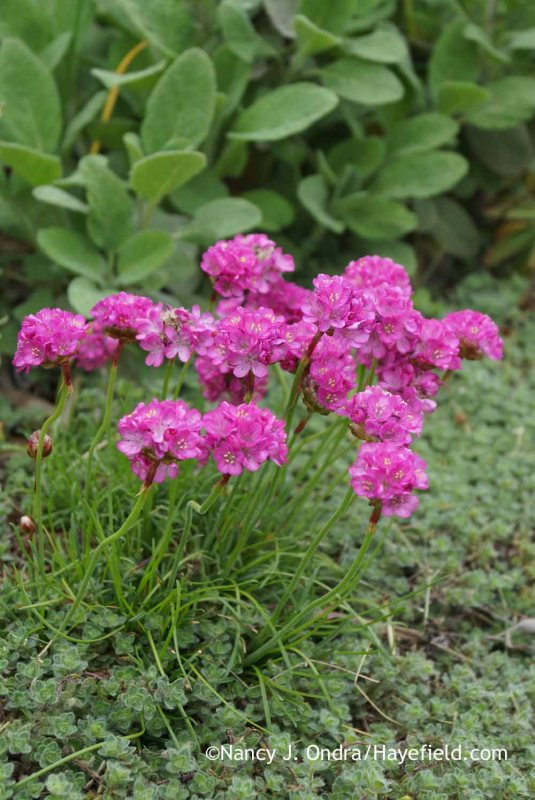 'Bloodstone' sea thrift (Armeria maritima) with woolly thyme (Thymus pseudolanuginosus) against 'Berggarten' sage (Salvia officinalis) [Nancy J. Ondra at Hayefield]