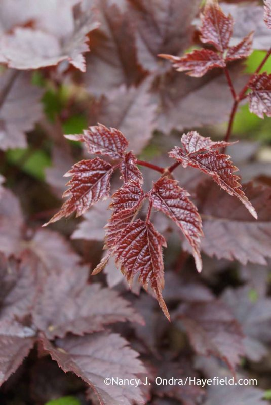 Yay - the 'Chocolate Shogun' astilbe (Astilbe) made it through the winter just fine and is producing lots of richly colored new growth. [Nancy J. Ondra at Hayefield]