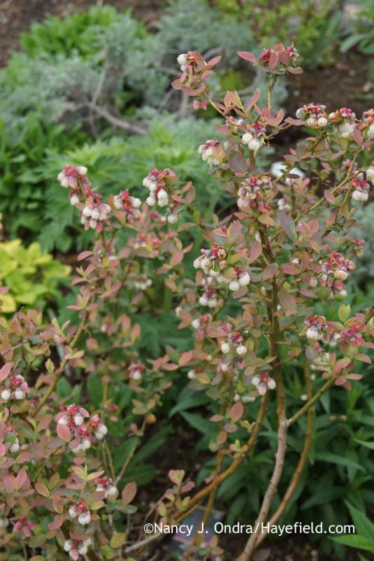 Peach Sorbet blueberry (Vaccinium corymbosum 'ZF06-043') in flower [Nancy J. Ondra at Hayefield]