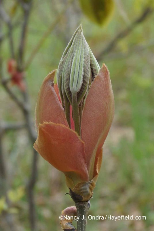 An opening bud of shagbark hickory (Carya ovata) [Nancy J. Ondra at Hayefield]