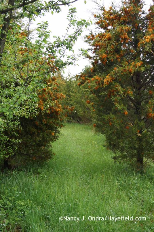 A trip into the meadow starts with a close encounter with the gelatinous masses of cedar-apple rust (Gymnosporangium juniperi-virginianae). A lot of them. They're particularly icky on rainy days, of which we have had many. [Nancy J. Ondra at Hayefield]