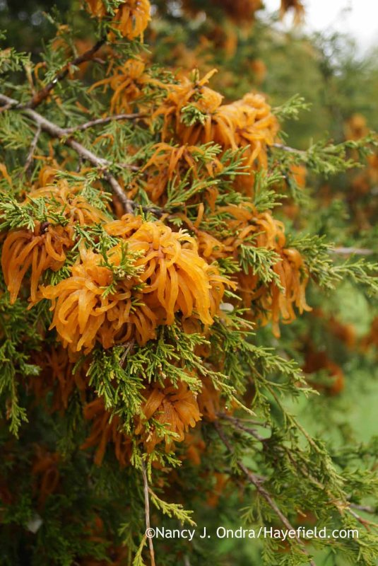 Cedar-Apple Rust (Gymnosporangium juniperi-virginianae) on Eastern Red Cedar (Juniperus virginianae) [Nancy J. Ondra at Hayefield]
