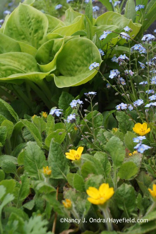 Green-and-gold (Chrysogonum virginianum) with forget-me-not (Myosotis sylvatica) and 'Maui Buttercups' hosta [Nancy J. Ondra at Hayefield]