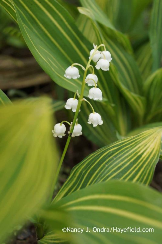Variegated lily-of-the-valley (Convallaria majalis 'Striata') in bloom [Nancy J. Ondra at Hayefield]