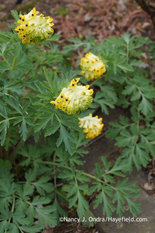 Siberian corydalis (Corydalis nobilis) [Nancy J. Ondra at Hayefield]