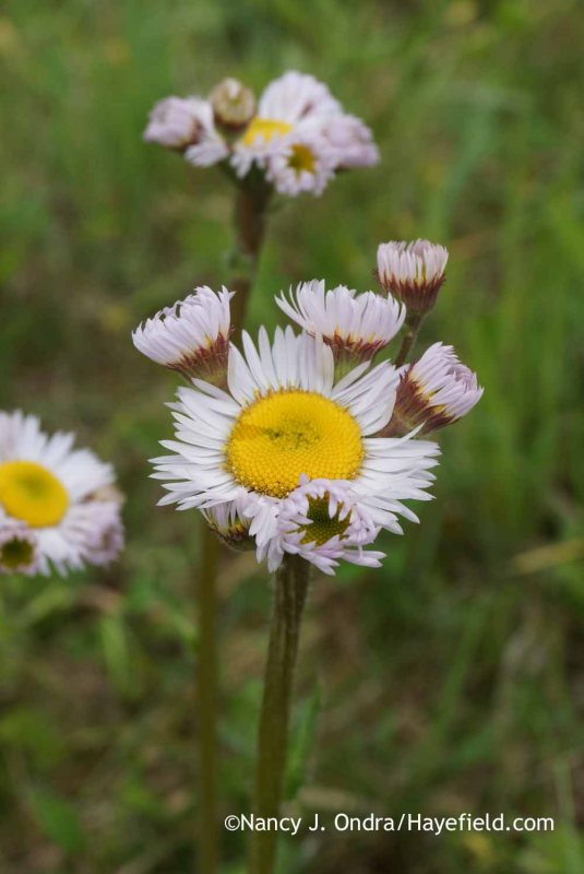 The flower form of these robin's plantain (Erigeron pulchellus) plants is very similar to that of hens-and-chickens calendula (Calendula officinalis var. proliferans). [Nancy J. Ondra at Hayefield]