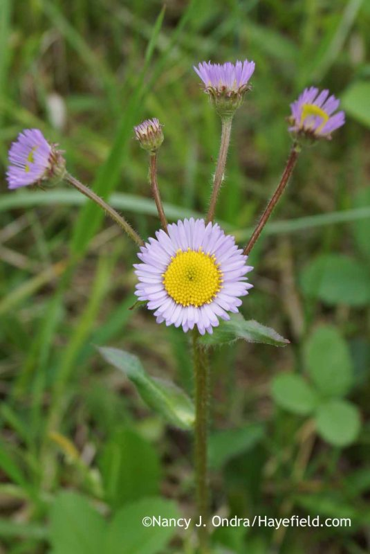Not all robin's plantain (Erigeron pulchellus) plants branch like this one--but my goodness, doesn't it look festive? [Nancy J. Ondra at Hayefield]