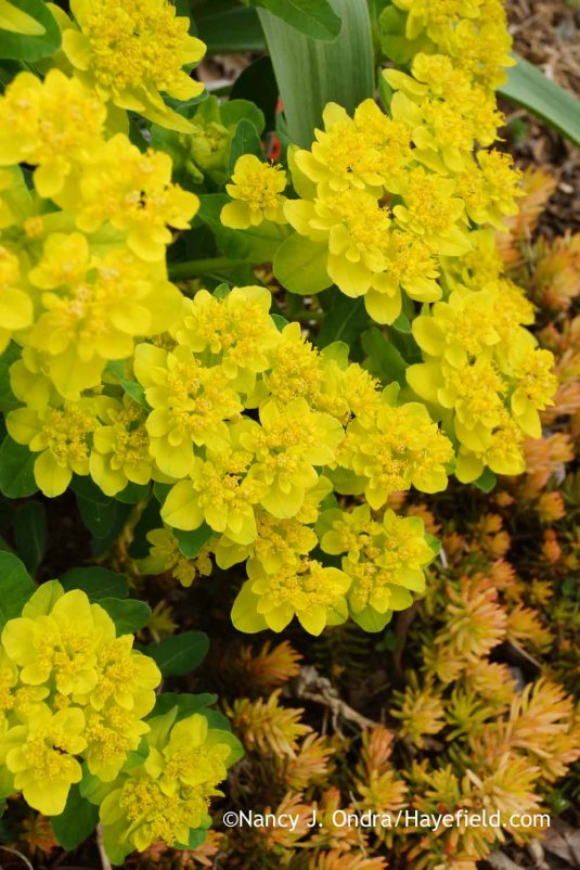 Cushion spurge (Euphorbia polychroma) with 'Angelina' sedum (Sedum rupestre) [Nancy J. Ondra at Hayefield]