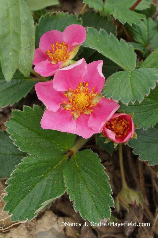 Pink Panda strawberry (Fragaria 'Frel') [Nancy J. Ondra at Hayefield]