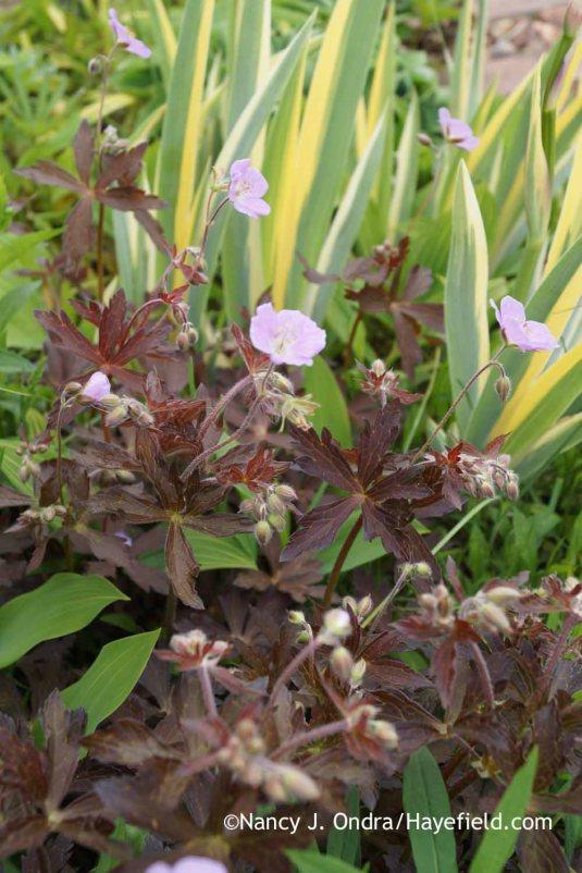 'Espresso' wild geranium (Geranium maculatum) [Nancy J. Ondra at Hayefield]
