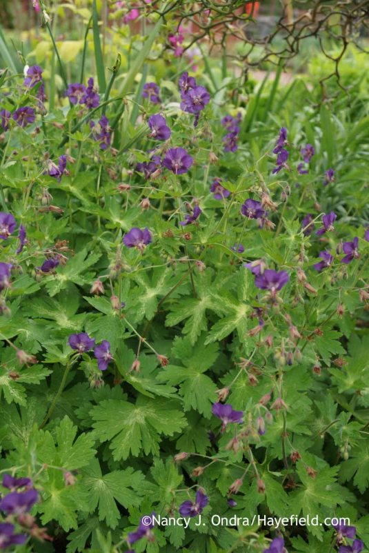 'Margaret Wilson' mourning widow (Geranium phaeum) [Nancy J. Ondra at Hayefield]
