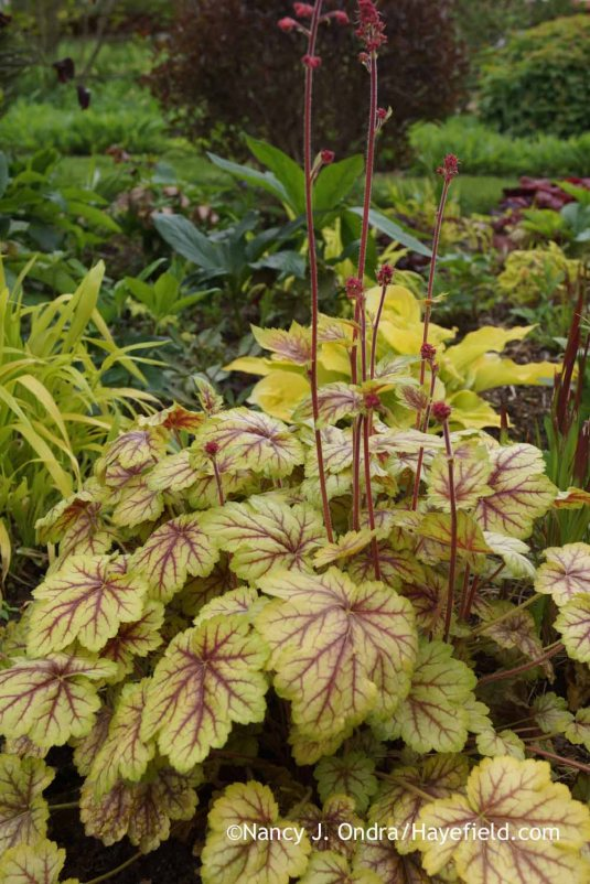 'Circus' heuchera (Heuchera) has also performed beautifully here for a number of years. [Nancy J. Ondra at Hayefield]