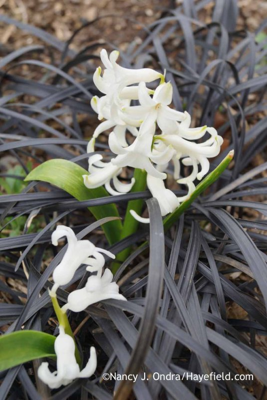 'Festival White' hyacinth (Hyacinthus orientalis) with black mondo grass (Ophiopogon planiscapus 'Nigrescens') in late March; Nancy J. Ondra at Hayefield