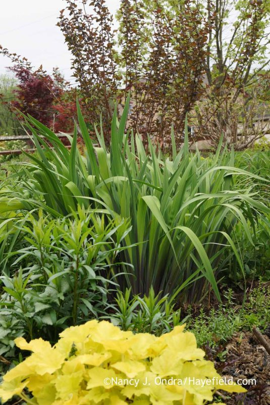 "Thanks to the cool weather in the last few weeks. 'Gerald Darby' iris (<em>Iris</em> x <em>robusta</em>) is still showing a good bit of purple in the foliage. By the way, if you're looking for 'Gerald Darby' and live in the southeastern Pennsylvania area, you can buy plants at <a href=""http://lindenhillgarden.com/"" data-wplink-edit=""true"">Linden Hill Gardens</a>, a retail nursery in Ottsville, PA. [Nancy J. Ondra at Hayefield]"