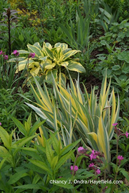 Variegated sweet iris (Iris pallida 'Variegata') with 'Axminster Gold' Russian comfrey (Symphytum x uplandicum) [Nancy J. Ondra at Hayefield]