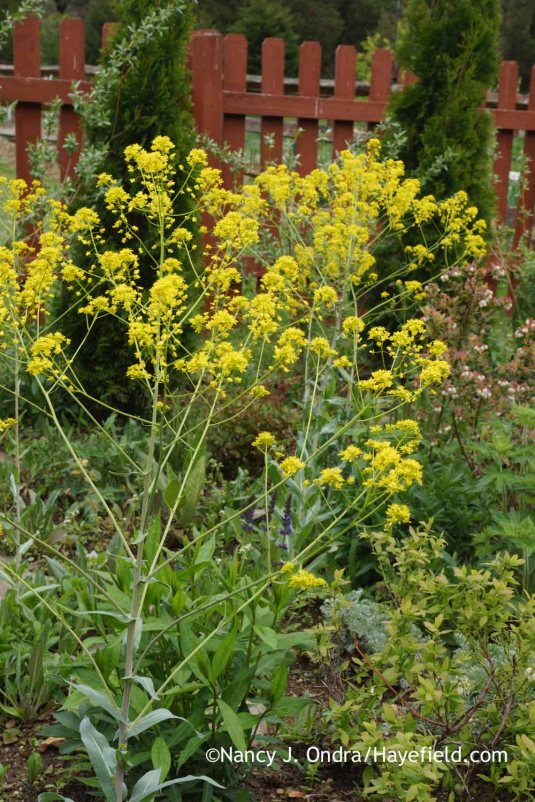 Dyer's woad (Isatis tinctoria) seeds around freely too, to the point that this non-native biennial or short-lived perennial is considered a noxious weed in some areas. I let only a few seeds form on mine--just enough to have replacement plants. [Nancy J. Ondra at Hayefield]