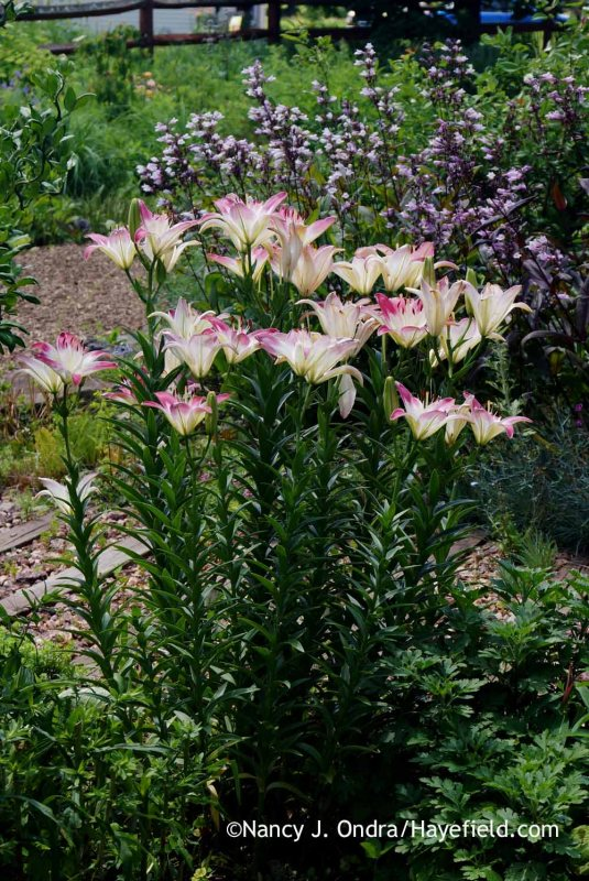 'Sheffield Pink' chrysanthemum (Chrysanthemum) did a fine job filling out to provide later-season interest in this spot, but in mid-June, the stems of 'Lollypop' Asiatic lily (Lilium) just looked awkward rising straight out of the soil. [Nancy J. Ondra at Hayefield]