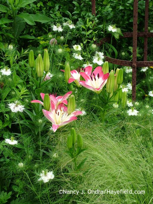 Here's the same 'Lollypop' Asiatic lily the following year, paired with some companions--Mexican feather grass (Stipa tenuissima) and 'Cramers' Plum' love-in-a-mist (Nigella damascena)--to fill in around it at bloom time and add later interest as well. It's altogether a prettier scene, I'd say. [Nancy J. Ondra at Hayefield]