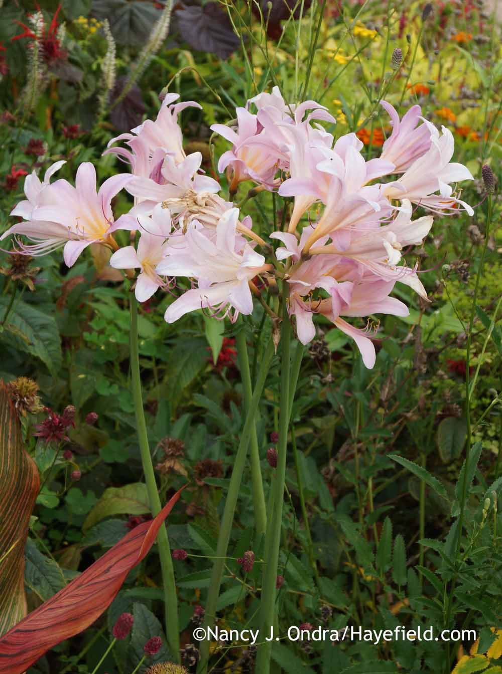 Matchmaking with bulbs part 2 hayefield the lilys flowering stalks in turn can easily shoot up through the tanna izmirmasajfo Image collections