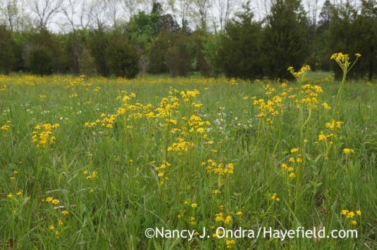 The yellow in that field turned out to be the same as in my upper meadow: the charming daisy-form flowers of golden ragwort (Packera aurea [Senecio aureus]). [Nancy J. Ondra at Hayefield]