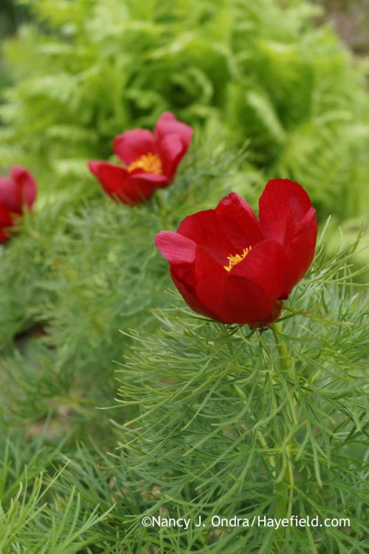 Another beautiful species: fernleaf peony (Paeonia tenuifolia). [Nancy J. Ondra at Hayefield]