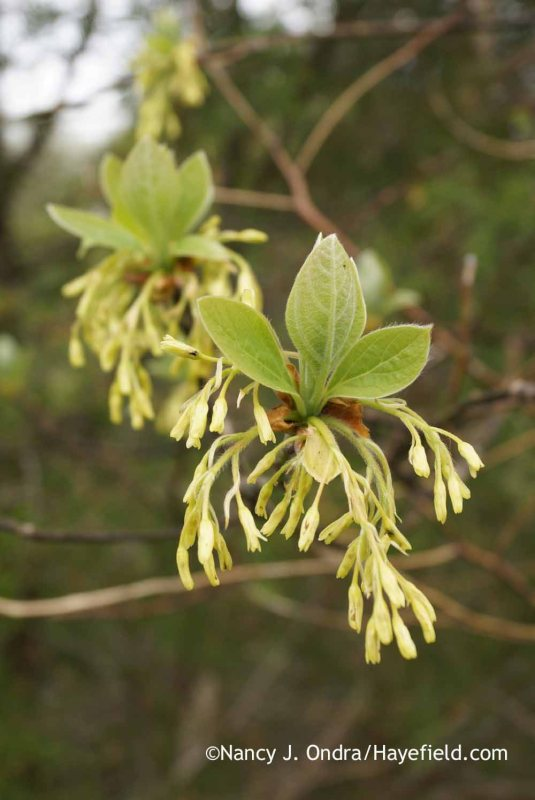 The flowers and new growth of sassafras (Sassafras albidum) [Nancy J. Ondra at Hayefield]