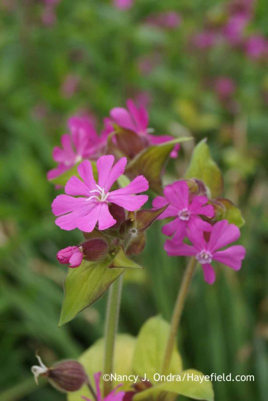 If you have a number of red campion (Silene dioica) plants growing together, you may also be able to tell the males from the females from a bit of distance. The males tend to have thinner stems and smaller but more abundant blossoms, though that's not always the case. [Nancy J. Ondra at Hayefield]